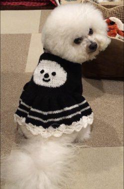 シロの母さん印のセーター(^o^) ビションフリーゼ おもち  4A134068-31C0-4D4E-811F-DF058C055BCE-249x380