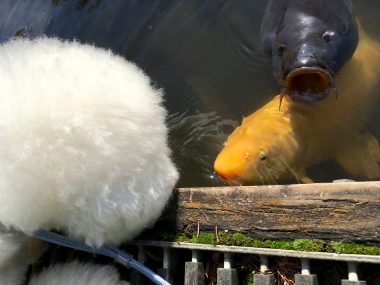 おも、鯉に絡まれる ビションフリーゼ おもち  F73C3713-900E-486D-9730-74F307F40612-380x285