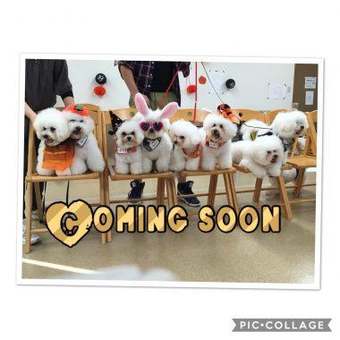 ミルキーハウスの子犬情報♡更新しました☆ ビションフリーゼ おもち  04D3A7B0-75AA-462F-BDCD-B44F928C9275-380x380