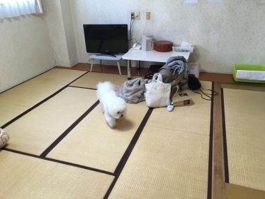 おも、仙台へ行く!( ˙-˙ ) ビションフリーゼ おもち  0EE3C6B1-5094-45F7-849D-DCA61DB656CC-380x285