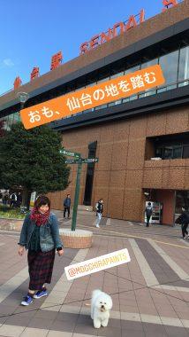 おも、仙台へ行く!( ˙-˙ ) ビションフリーゼ おもち  13586BC3-17CF-445A-AAEA-01E49BC5C7E8-214x380