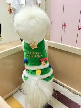 クリスマス気分のトリプルズ ビションフリーゼ おもち  B8C5938F-B3C4-4DAC-841F-6205E068BE42-285x380