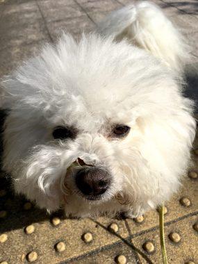 偶然の犬違い ビションフリーゼ おもち  EFB789AA-589B-43B4-96C9-CAEAF014135E-285x380