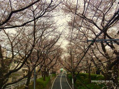 今年の桜坂 ビションフリーゼ おもち  0C62E781-1CEC-4D36-B130-1F100F76A43C-380x285