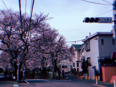 今年の桜坂 ビションフリーゼ おもち  200B1171-3FC3-45D1-8F19-6D992FDDED02-380x285