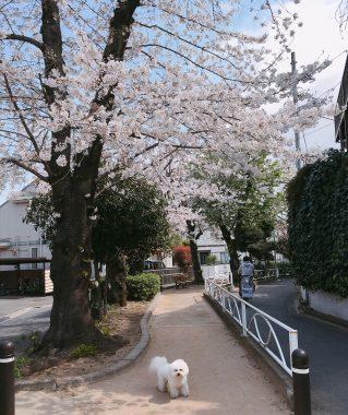 今年の桜坂 ビションフリーゼ おもち  4A85970E-E43F-4712-9C11-EA7B8CADEFB8-319x380