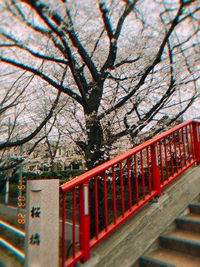 今年の桜坂 ビションフリーゼ おもち  9ADC84E4-9FED-4DE3-9ED4-8123CD0E7AA0-285x380