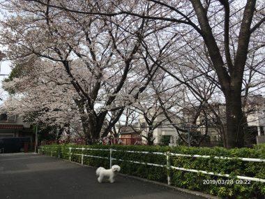 今年の桜坂 ビションフリーゼ おもち  AB47E3E5-9F42-44A8-910A-2D3948F70D6D-380x285