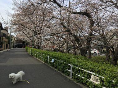 今年の桜坂 ビションフリーゼ おもち  D7B05145-D1D2-4B65-9905-808DDB269DF9-380x285