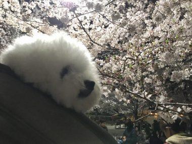 おもちふくらむ夜桜 ビションフリーゼ おもち  212387F1-AA52-4AEE-9B00-DF4D3D006674-380x285