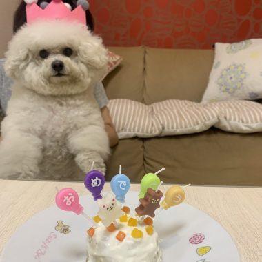 るんるんのお誕生日写真❤️ ビションフリーゼ おもち  2D2F2011-5D5C-4312-A47F-53446E7F6BFD-380x380