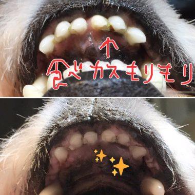 おもふく歯磨きの事 ビションフリーゼ おもち  35102DCD-9554-4BF5-8A1E-D24D7BC57D2A-380x380