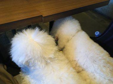 ビションフリーゼ おもち  おもふく、まつ毛と髪の毛の付き添い 2F0ECA0B-7564-45F9-8BFA-9A7187099B32-380x285