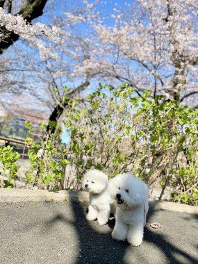 ビションフリーゼ おもち  こっちの桜も咲いてきました🌸 2D7B5C24-2446-4303-A4BF-07080026E6FE-285x380