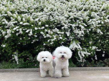 ビションフリーゼ おもち  白いお花とおもちふくらむ 42485ABF-F5CC-4589-9227-0F454AAC2F9F-380x285