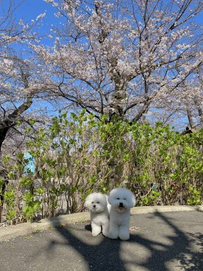 ビションフリーゼ おもち  こっちの桜も咲いてきました🌸 65117609-65F9-4789-B4FD-C23978ED2A83-285x380