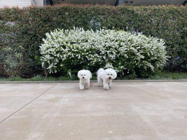 ビションフリーゼ おもち  白いお花とおもちふくらむ 774675C8-2ED3-4940-B441-82BCA6DCD84B-380x285