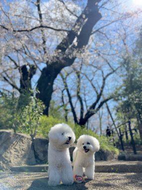 ビションフリーゼ おもち  こっちの桜も咲いてきました🌸 88AF468E-D45D-44F0-AE94-12B435905566-285x380