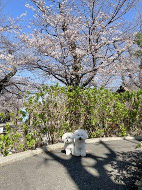 ビションフリーゼ おもち  こっちの桜も咲いてきました🌸 A4B41D45-D384-4F27-AB6F-65FC77E104AD-285x380