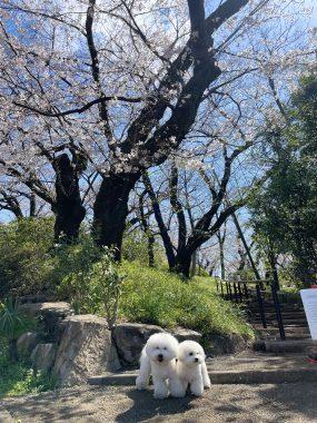 ビションフリーゼ おもち  こっちの桜も咲いてきました🌸 E1C39BF9-C681-44C1-ABAF-167FC00BFE27-285x380