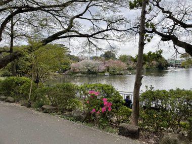 ビションフリーゼ おもち  桜山のピンク 4647B4D6-9809-4DF2-B560-CE3ACD9AEE1B-380x285