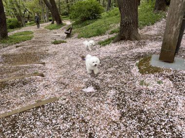 ビションフリーゼ おもち  桜山のピンク 8F6EE313-DD26-4375-B9C7-0D989F831810-380x285