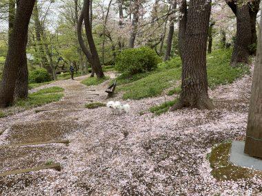 ビションフリーゼ おもち  桜山のピンク DF08423E-433B-49E3-A6CC-8E4B445035EB-380x285